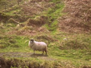 sheep glenariff